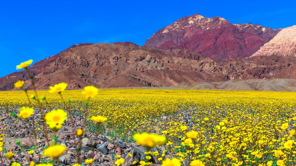 Death valley spring flowers choice image flower decoration ideas death valley spring flowers gallery flower decoration ideas panamint springs resort in death valley national park mightylinksfo