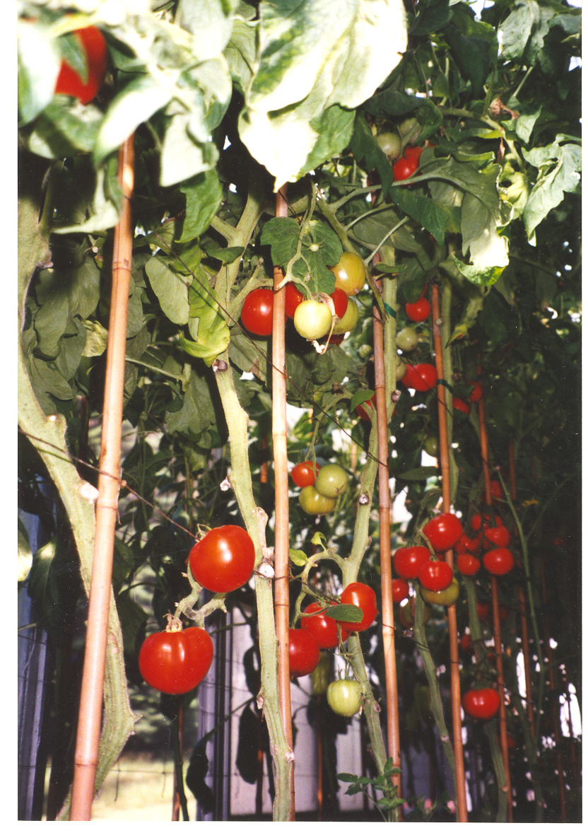 Ripe Tomatoes 2