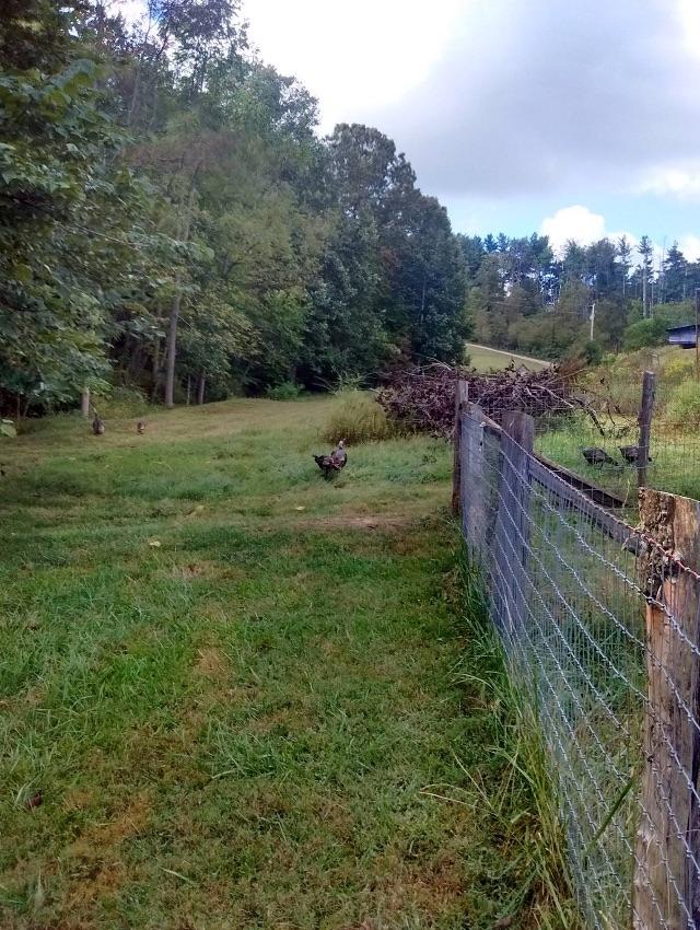 turkeys3greenfields